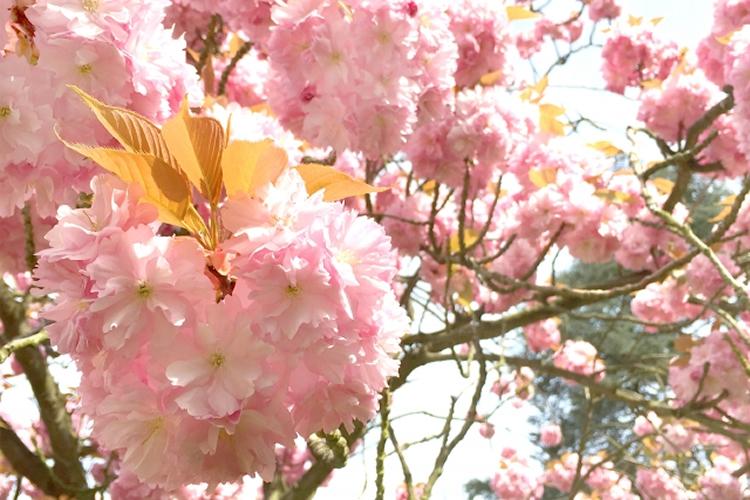 桜は世界にたくさんある