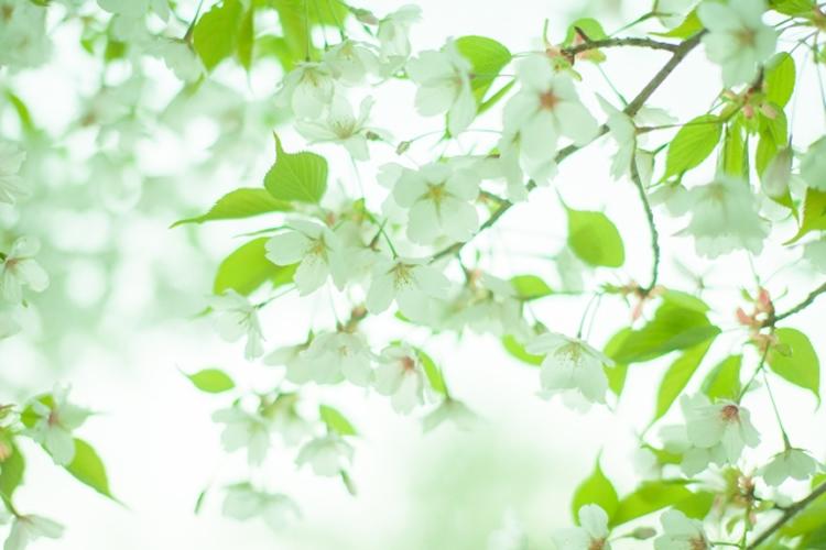 桜の葉には毒がある