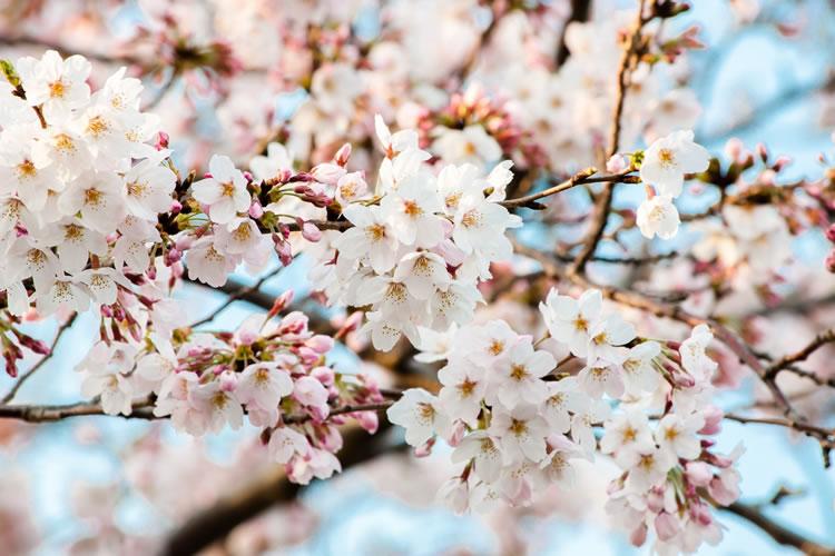 お花見で使える桜(サクラ)に関する雑学