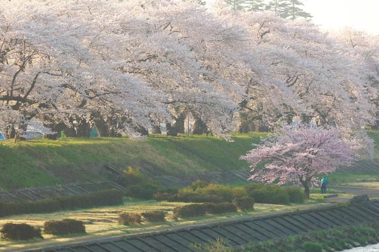 川沿いに桜が多い理由