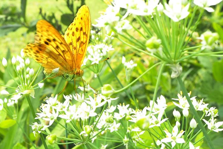 (春に)黄色い蝶を見かけたら幸運になる