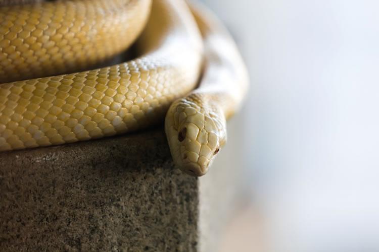 白蛇は縁起がいい