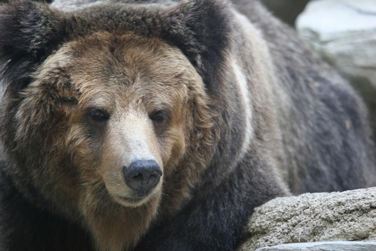 熊に出会ったら死んだふりをすると助かる
