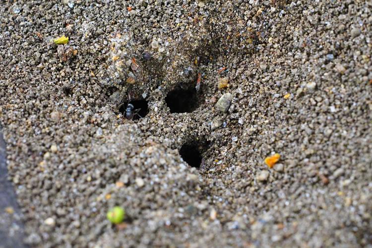 アリが巣穴をふさぐと雨