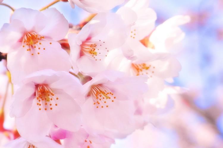 桜の色が薄い年はいつまでも寒い
