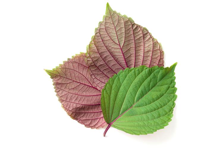 「紫蘇」は植物の名前